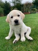 Labrador - štěně