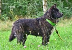 Darujeme nalezeného psa americké akity