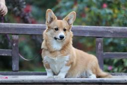 Štandardný psík - vhodný do chovu a na výstavy