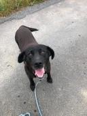 MAXÍK - Labradorský retrívr - pes