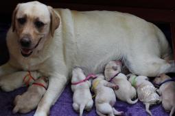 Labrador Retriever - šteniatka s rodokmeňom pôvodu
