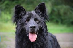 BALŮ - kříženec 37 kg - pes 5 let