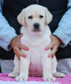 Labrador - krásná smetanová holčička s PP