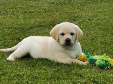 Labrador - 2 kluci