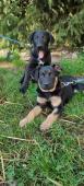 OLIVER a MISTY - kříženec - fena, pes 3 měsíce
