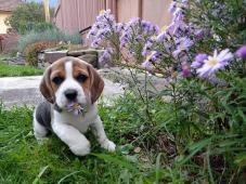 Beagle, bígl Rožňava