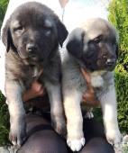 Kangal _ anatolien puppies