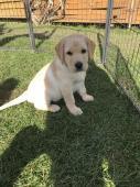 Labrador štěně s PP IHNED K ODBĚRU