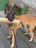 IVAN - BO x 28 kg - kastrovaný pes 11 měsíců