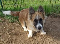 JAROUŠEK - Velškorgi x - štěně, pes 6 měsíců