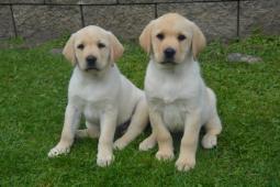 Labrador - 2 pejsci