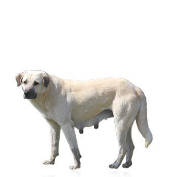 Kangalský pastevecký pes