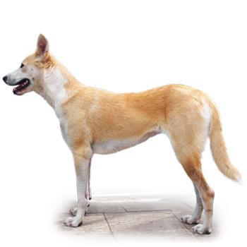 Kanaánsky pes