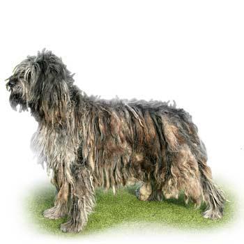 Bergamský ovčák