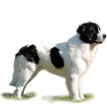 Bukovinský pastiersky pes
