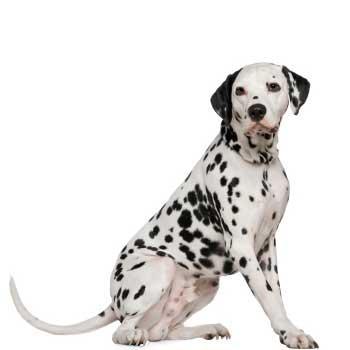 Dalmatínsky pes