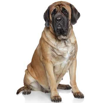 Mastif (Anglický mastif)