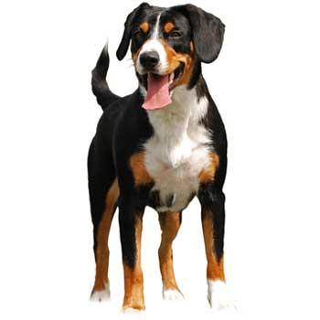Entlebuchský salašnícky pes