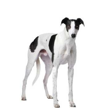 Greyhound (Anglický chrt, Greyhound)