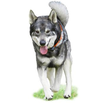 Švédský losí pes (Jaemthund)