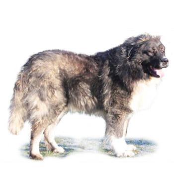 Kaukazský ovčiak