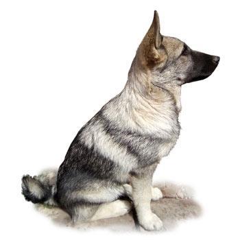 Norský losí pes šedý