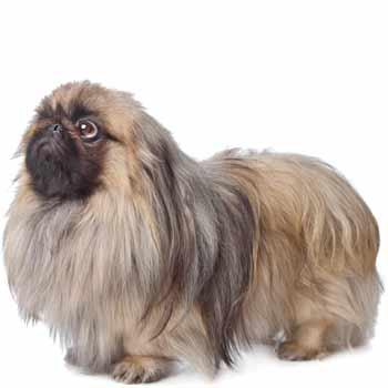 Pekingský palácový psík