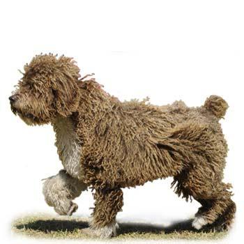 Španělský vodní pes