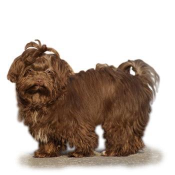 Barevný boloňský psík