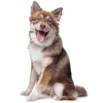 Finský laponský pes