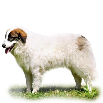 Bosensko - hercegovinský - chorvatský ovčák