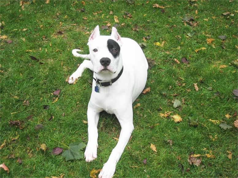 Argentinská doga s kupírovanýma ušima