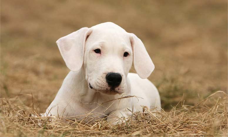 Štěně argentinské dogy
