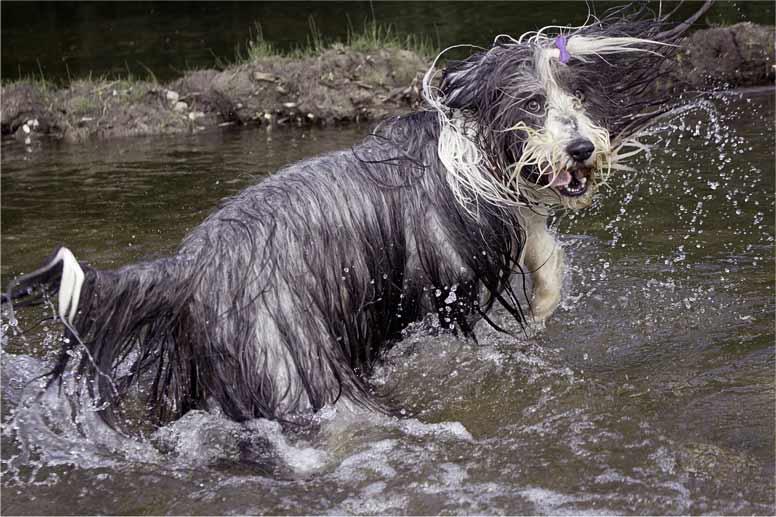Bearded kolie je velmi aktivní pes