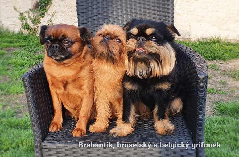 Brabantík, Bruselský grifonek a Belgický grifonek
