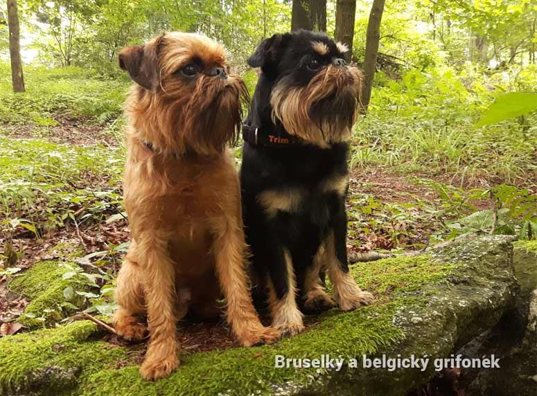 Bruselský a belgický grifonek