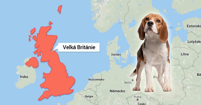 Bígl - Velká Británie