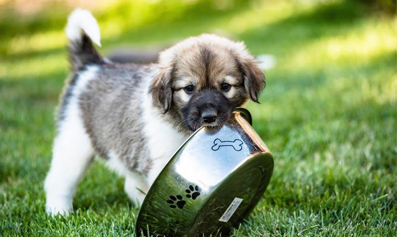 Štěňátko českého horského psa