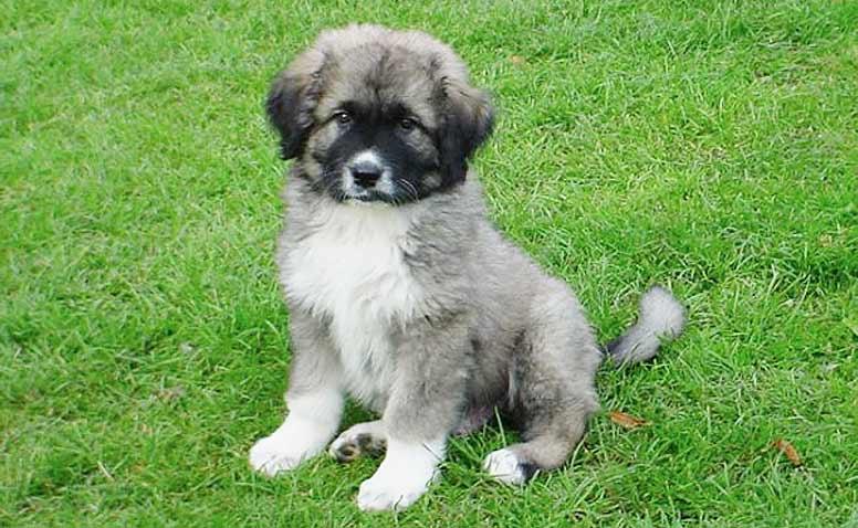 Kavkazský pastevecký pes - štěně