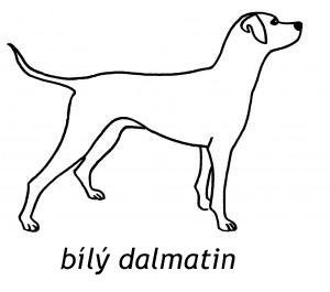 Bílý dalmatin