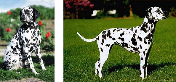 Dalmatin - pihy