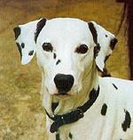 Hlava, uši dalmatina - řidké tečkování