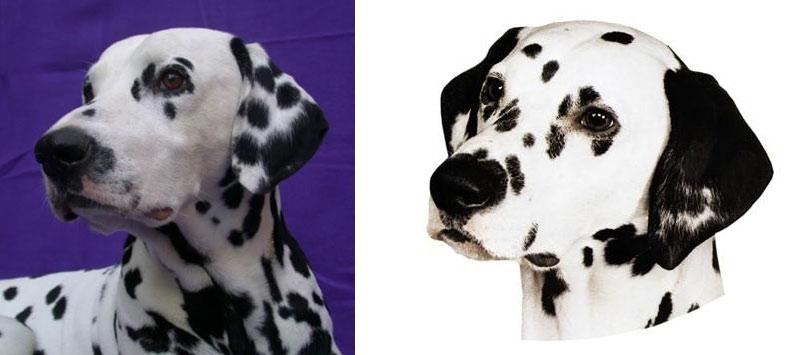 Hlava, uši dalmatina - optimální tečkování