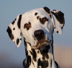 Hlava, uši dalmatina - střední tečkování