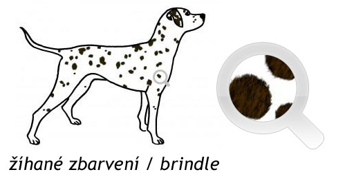 Žíhané zbarvení dalmatina (brindle)