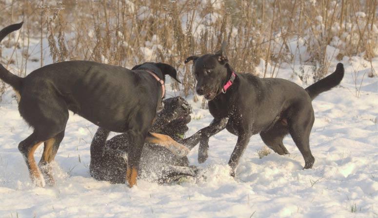 Psi živeni BARFem