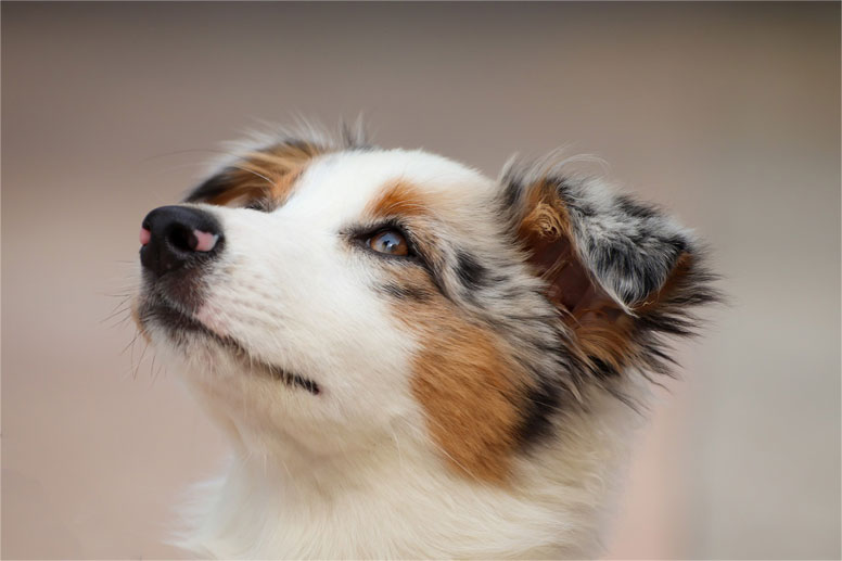 Pes bez PP