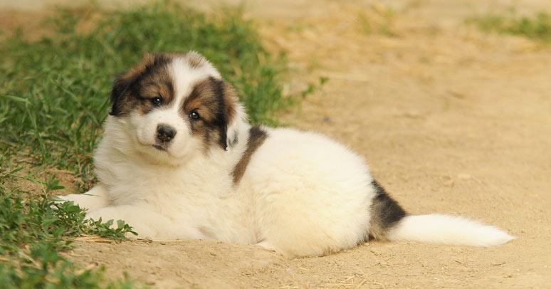 Tornjak štěně