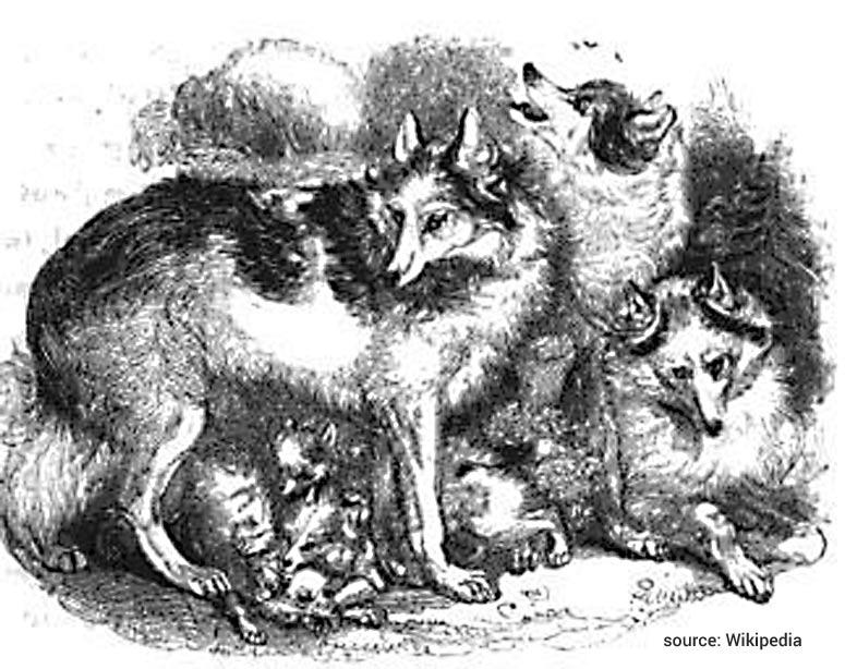 Indiánský pes Hare