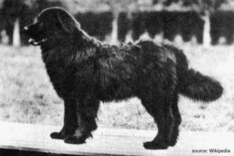 Moskevský vodní pes vodolaz  - Vyhynulé plemeno